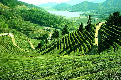 Tea Tourism in North Bengal