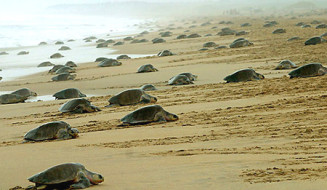 Olive turtles in Gahirmatha beach